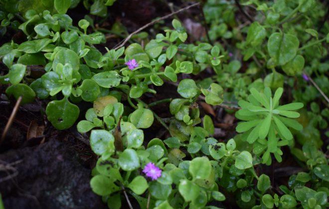 As espécies invasoras – Rosinha-de-sol (Aptenia cordifolia)